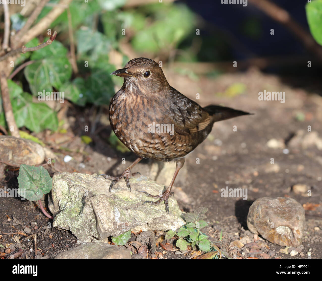 Close up of a female blackbird looking for food - Stock Image