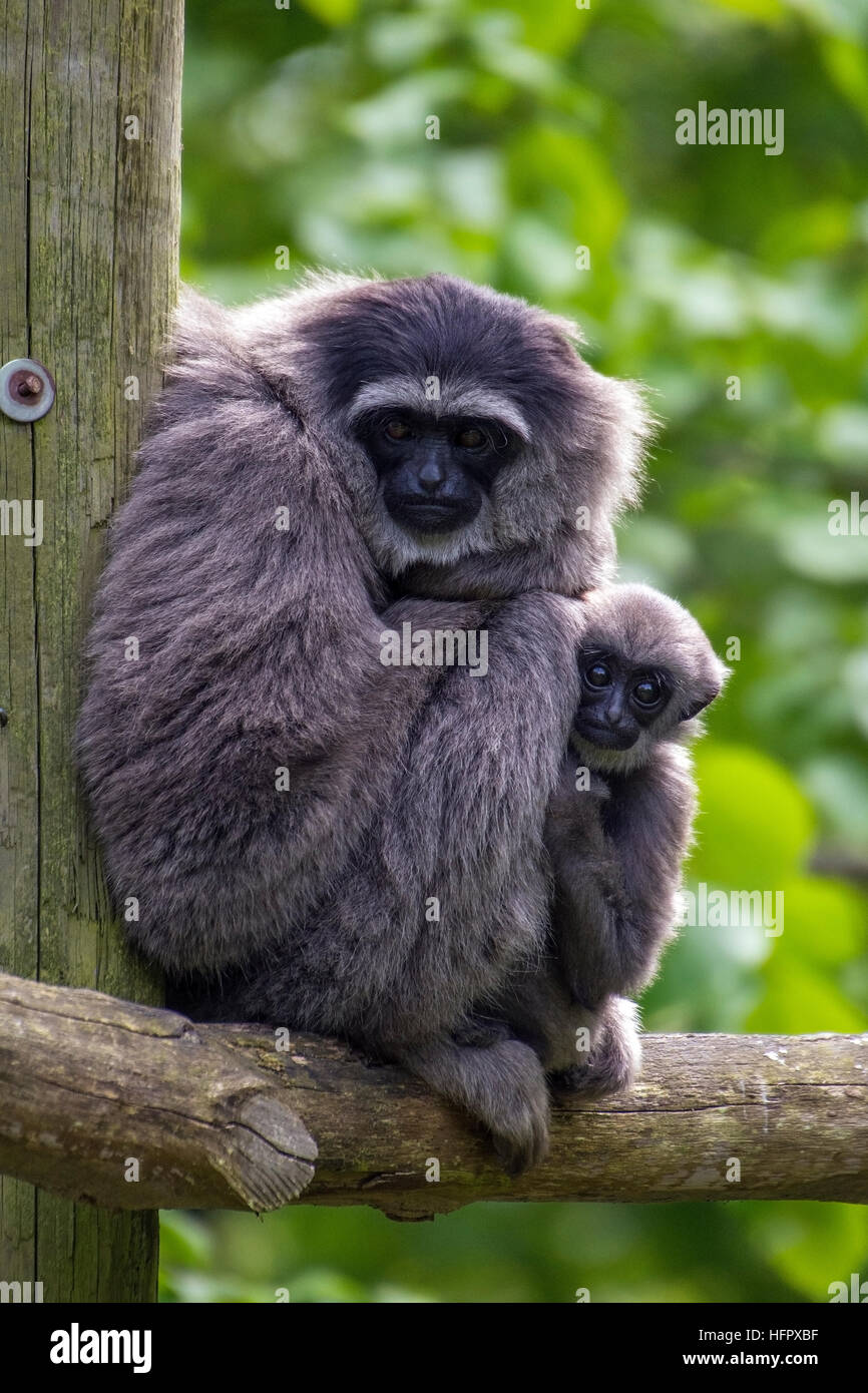 Moloch gibbon and baby