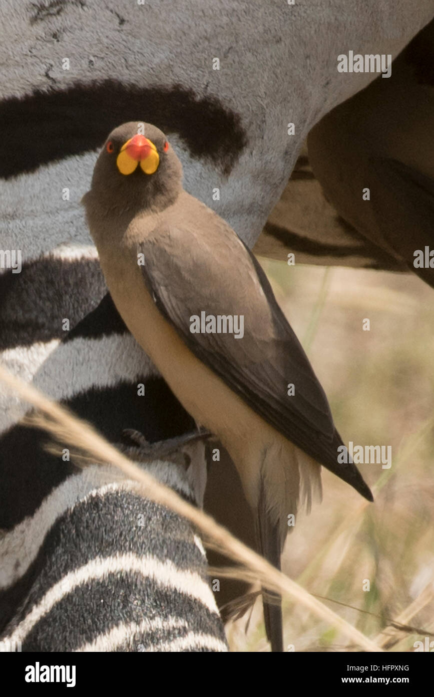 Yellow-billed oxpecker with zebra - Stock Image
