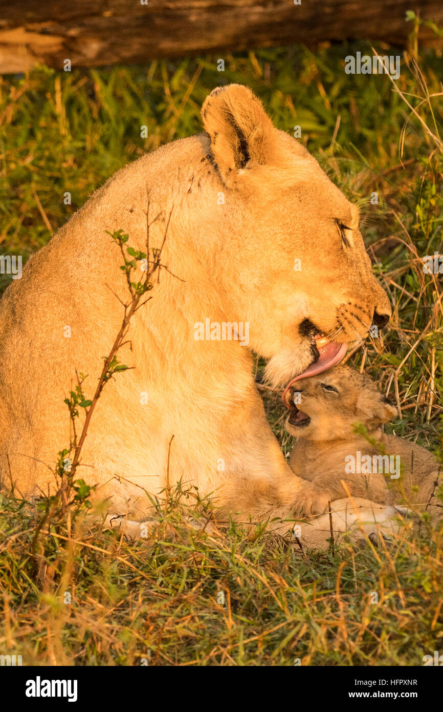 Lioness licking and cleaning her two very young cubs - Stock Image