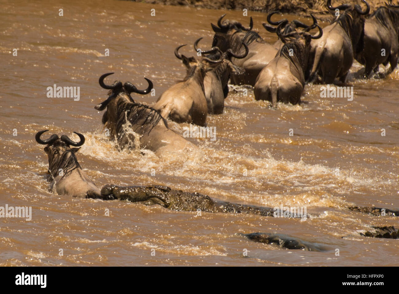 Crocodile attacking wildebeeste - Stock Image