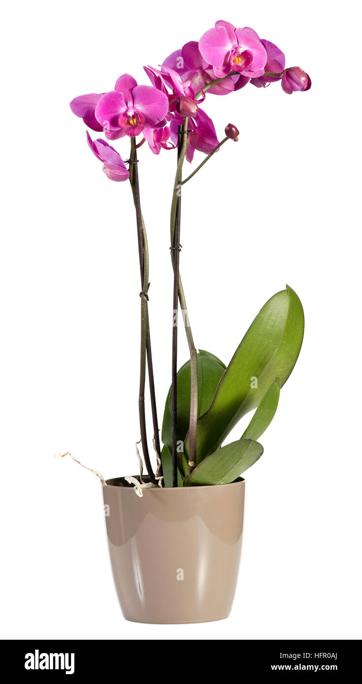 Delicate lonf stemmed spray of magenta pink phalaenopsis orchids growing in a pot for indoor decor - Stock Image