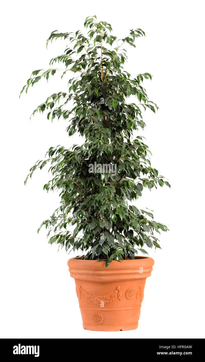 Close up Dark Green Leafy Ficus Benjamina Danielle Plant on Light Brown Pot - Stock Image