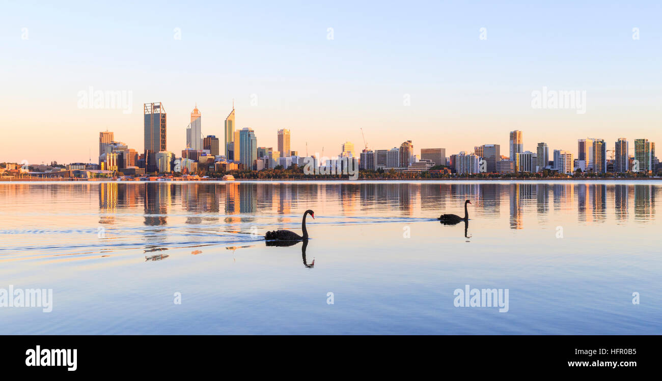 Two black swans (Cygnus atratus) on the Swan River at sunrise. Perth Australia. The black swan is the state bird - Stock Image