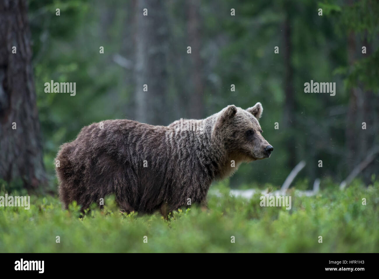 Brown bear in the taiga forest - Stock Image