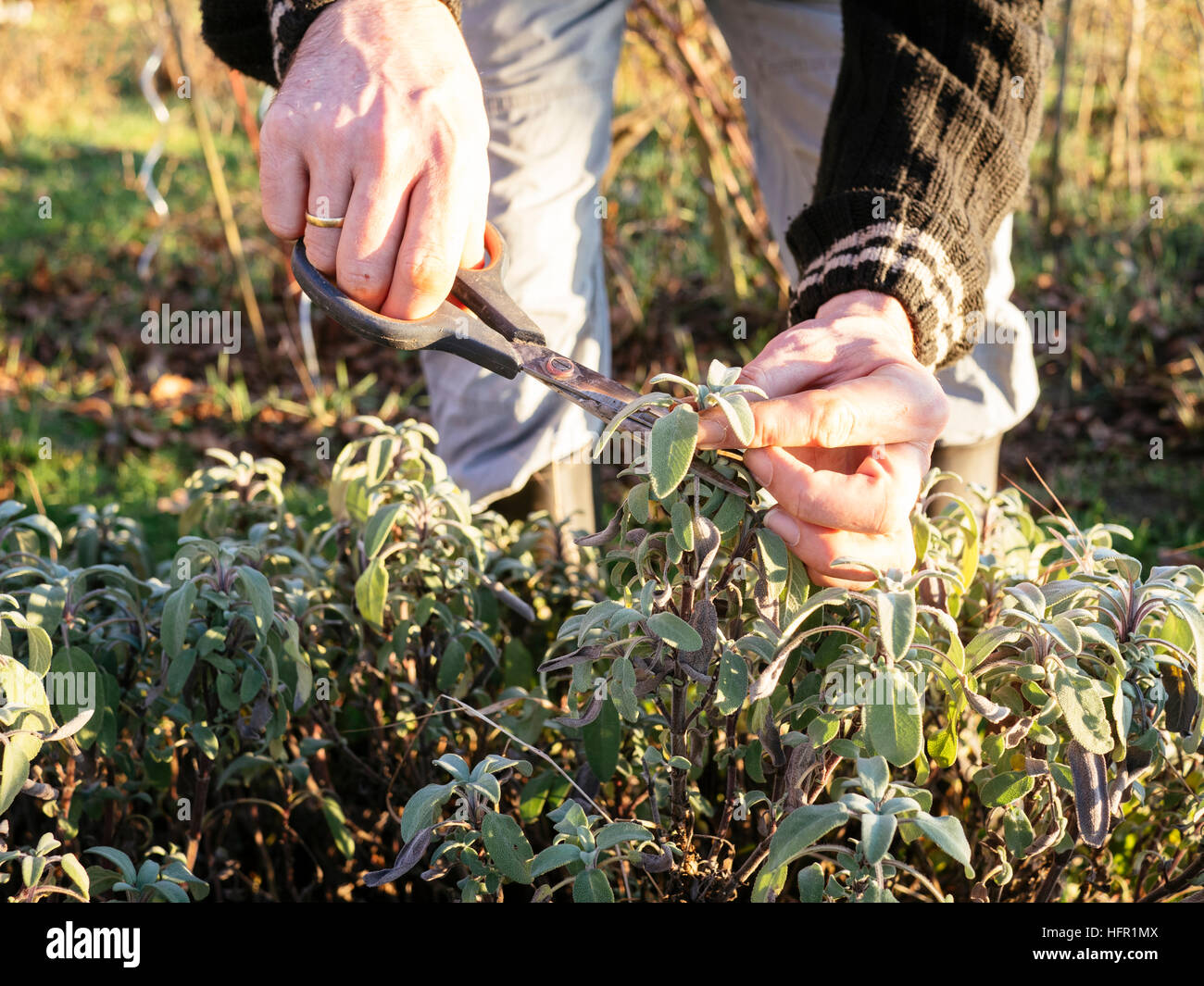 Gardener harvesting sage (Salvia officinalis)  leaves in a herb garden to make fresh sage tea.. Stock Photo
