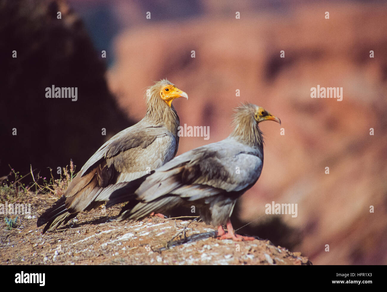 Egyptian Vultures,(Neophron percnopterus), two adult birds perched at roosting site on cliff edge,Bharatpur,Rajasthan,India - Stock Image