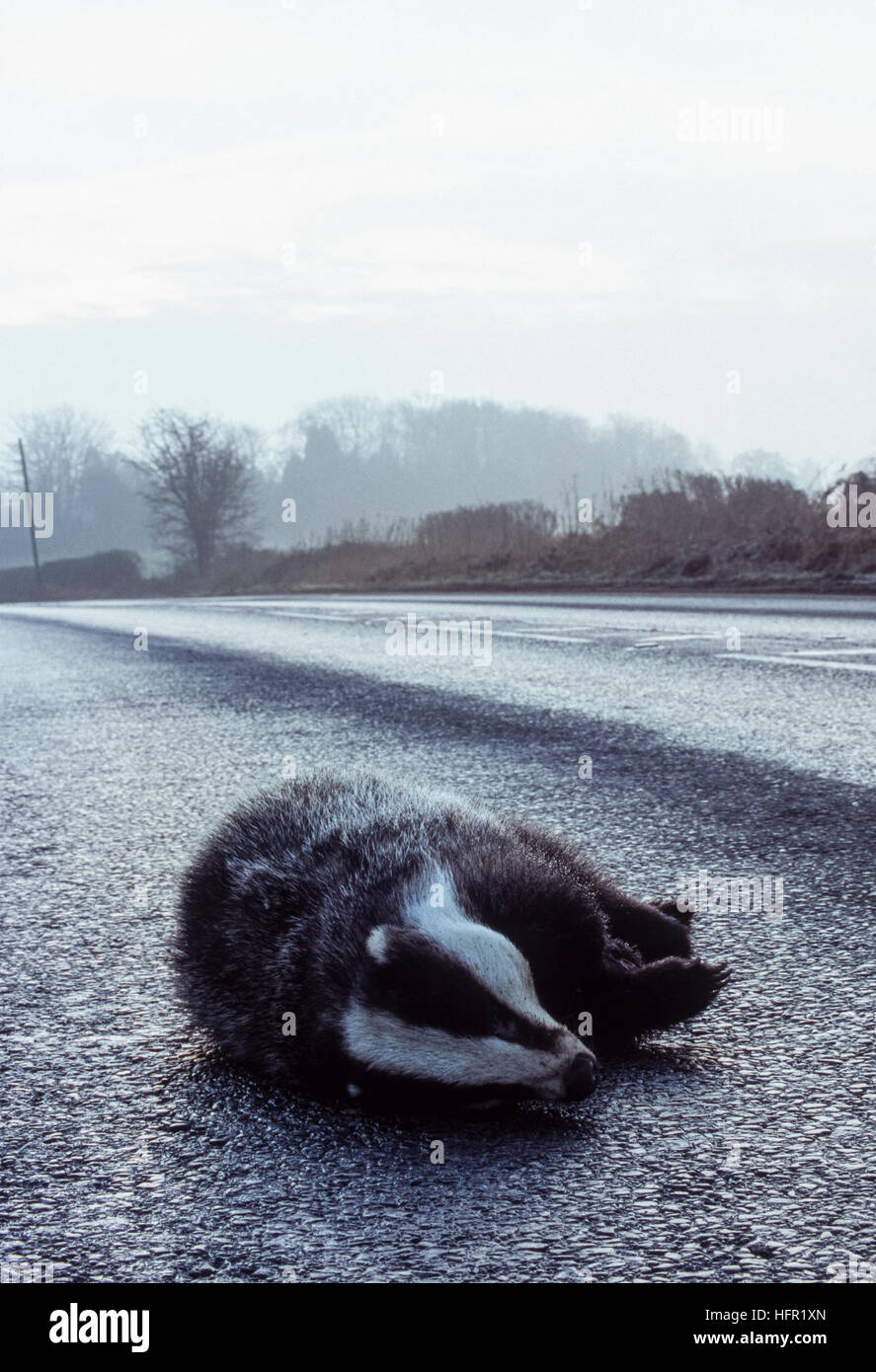 Eurasian Badger, (Meles meles), killed on road, Hertfordshire, England, United Kingdom - Stock Image