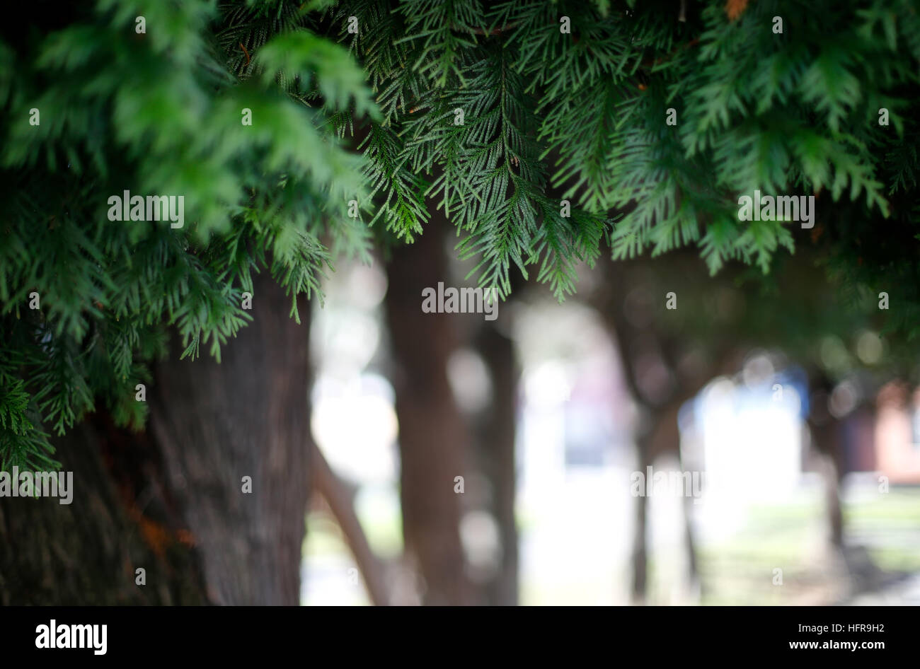 tree leaves with a unfocused background - Stock Image