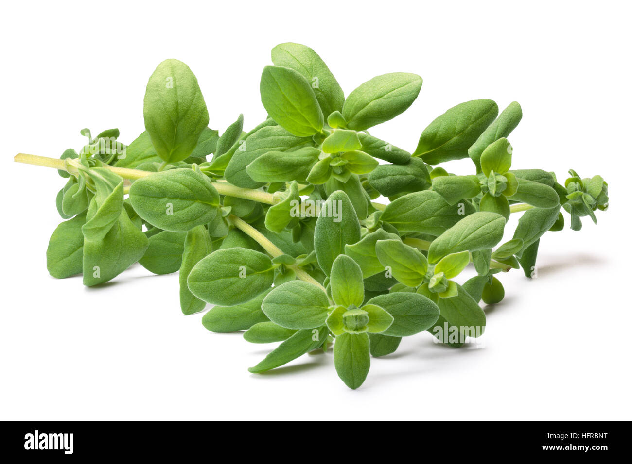 Fresh Marjoram (Origanum majorana), cut stem with leaves. Clipping paths, shadows separated - Stock Image