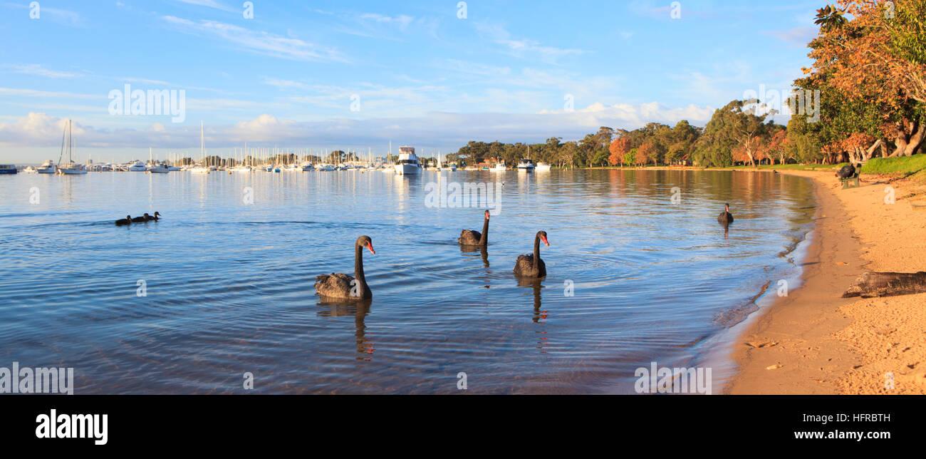 Black Swans (Cygnus atratus) on the Swan River at Matilda Bay Reserve.  Western Australia - Stock Image