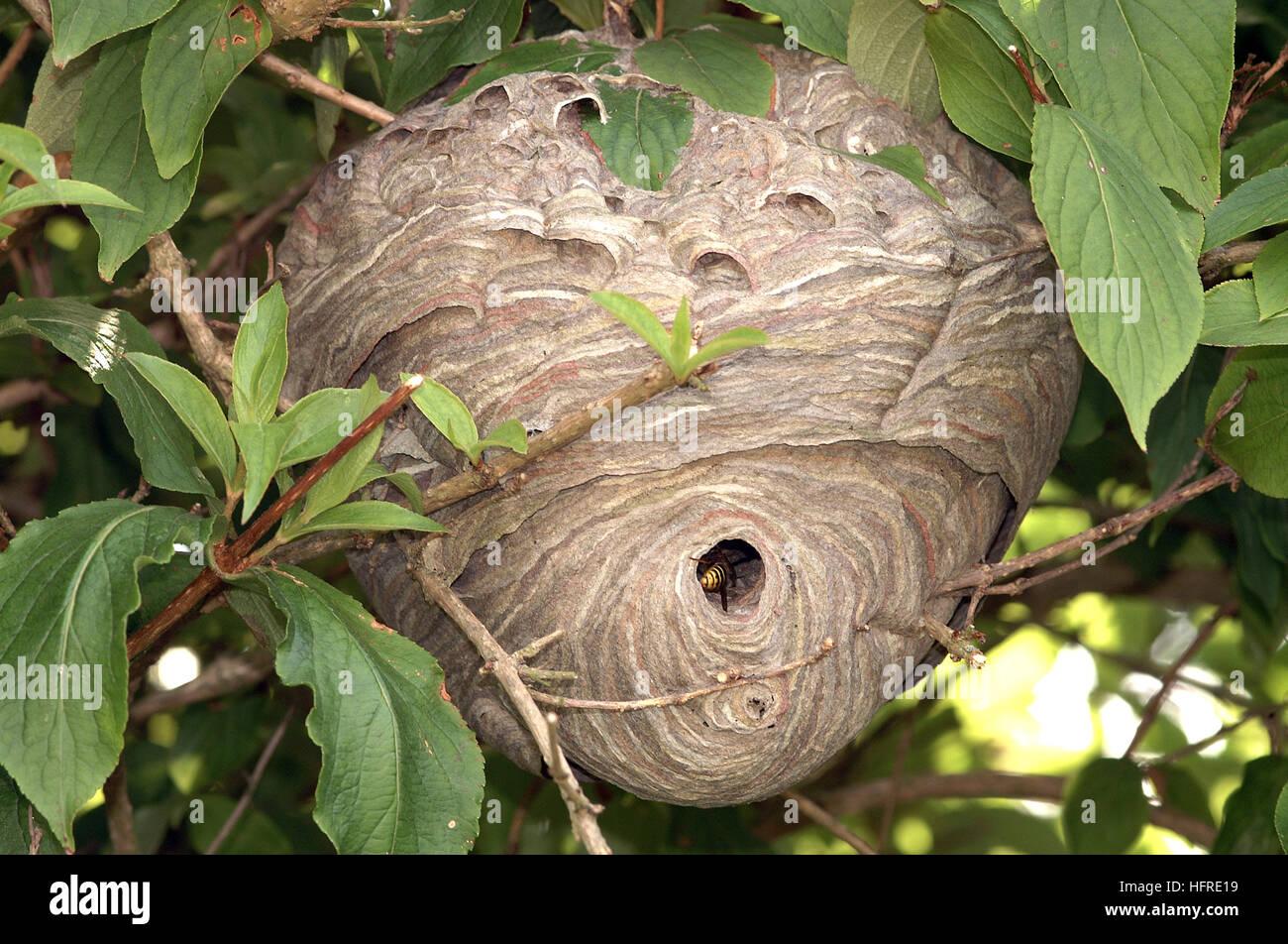 Wasp nest - Stock Image
