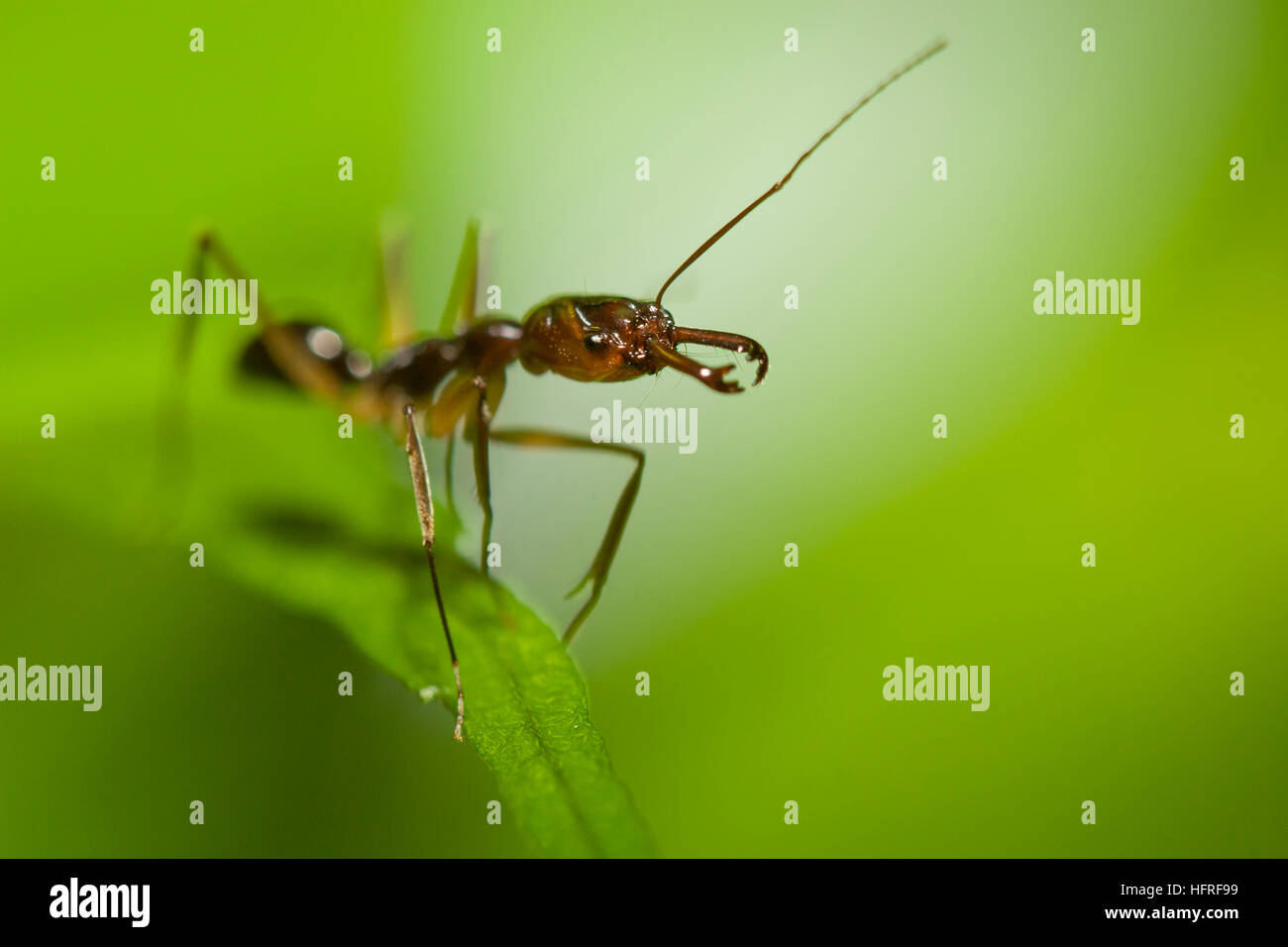 A trap-jaw ant (Odontomachus sp.). - Stock Image