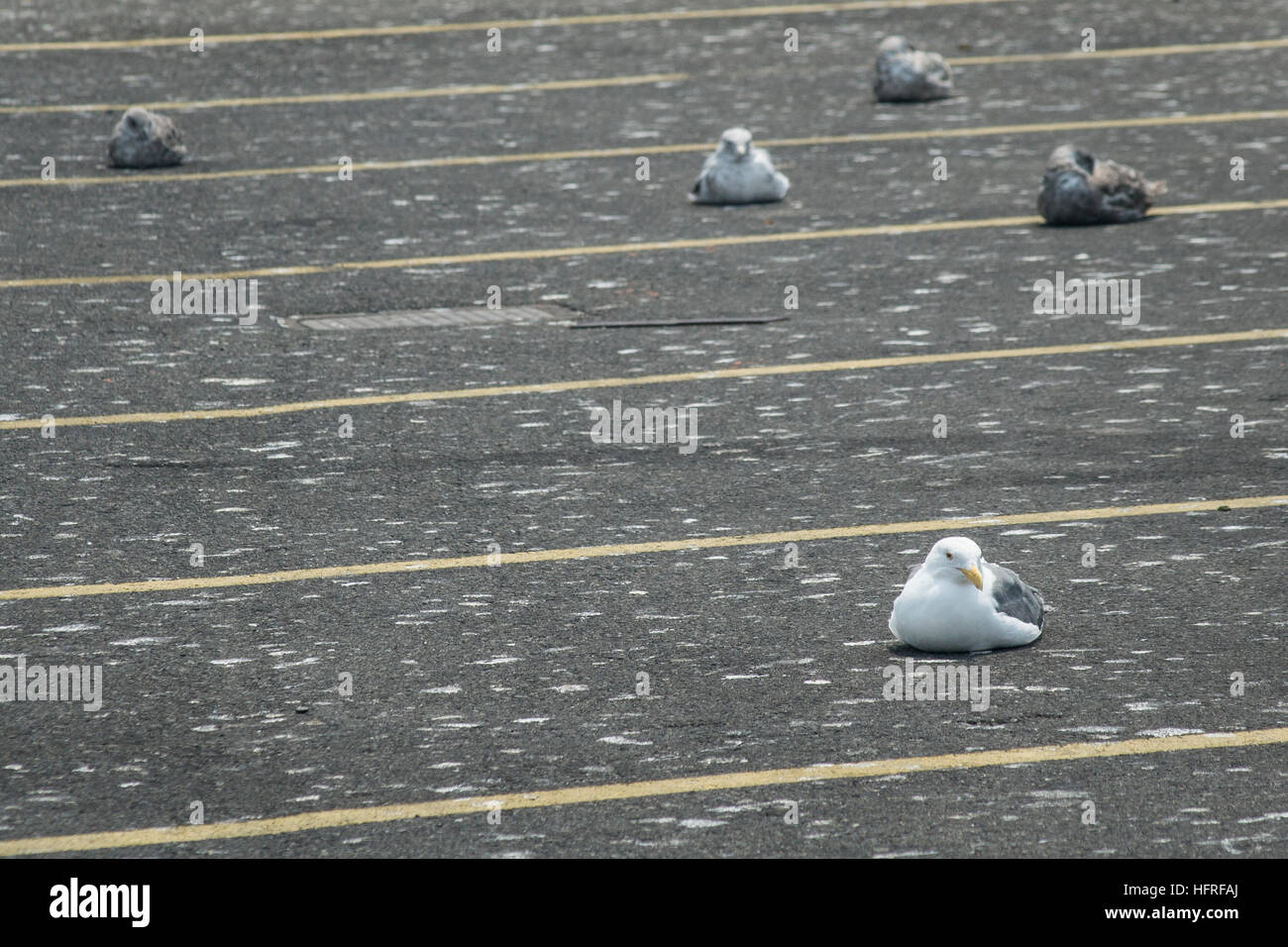 Seagulls in a parking lot pockmarked with their guano (bird droppings). - Stock Image