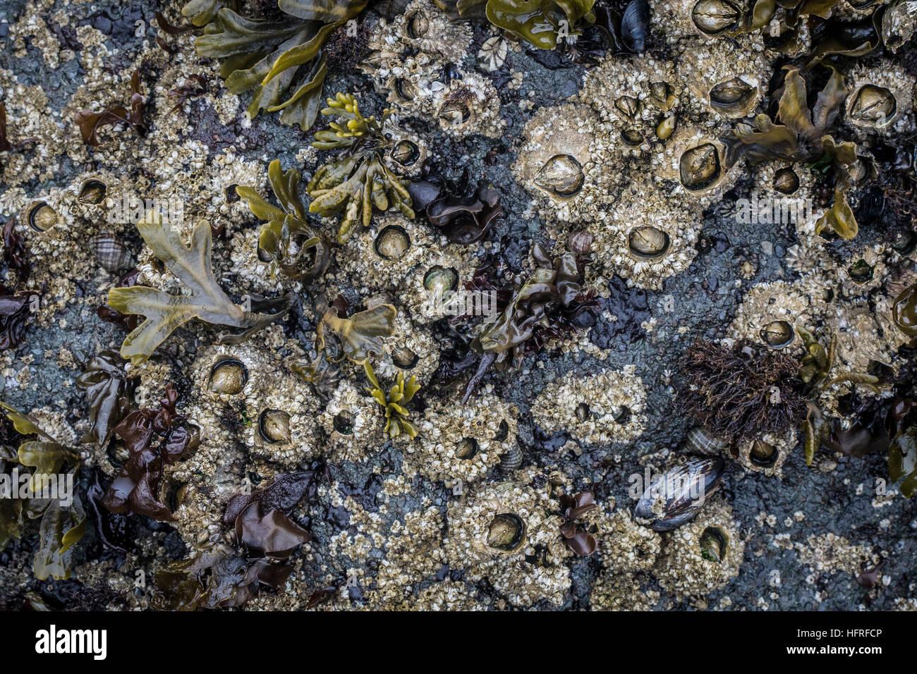 Acorn barnacles exposed at low tide. Oregon coast. Stock Photo