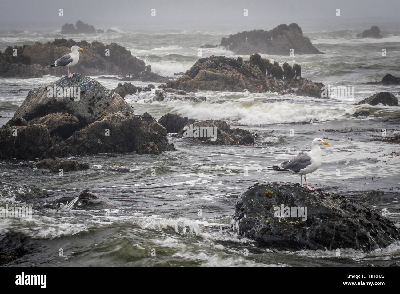 Sea gulls on rocks among rough waves. Oregon coast. - Stock Image