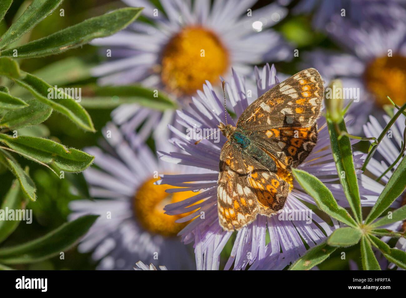 A butterfly on a purple aster flower. - Stock Image