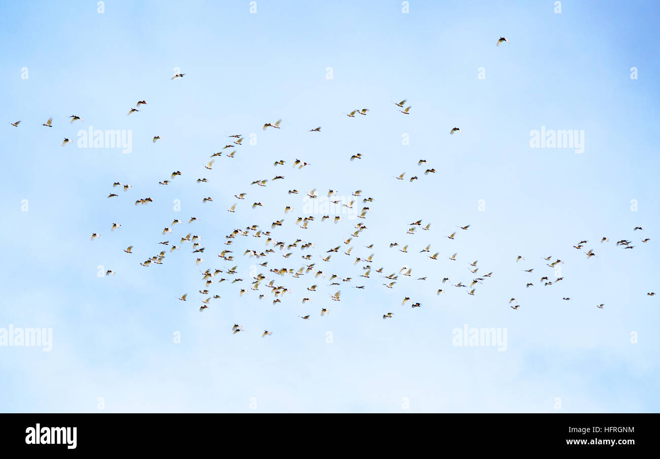 A flock of sulphur crested cockatoos (Cacatua galerita) - Stock Image