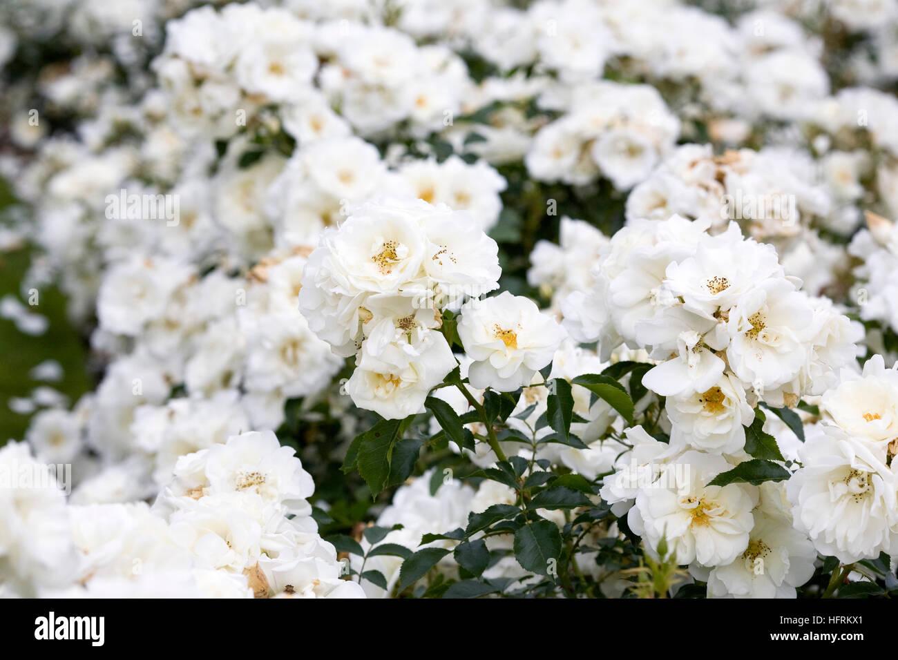Rose flower carpet stock photos rose flower carpet stock images rosa flower carpet white noaschnee mightylinksfo