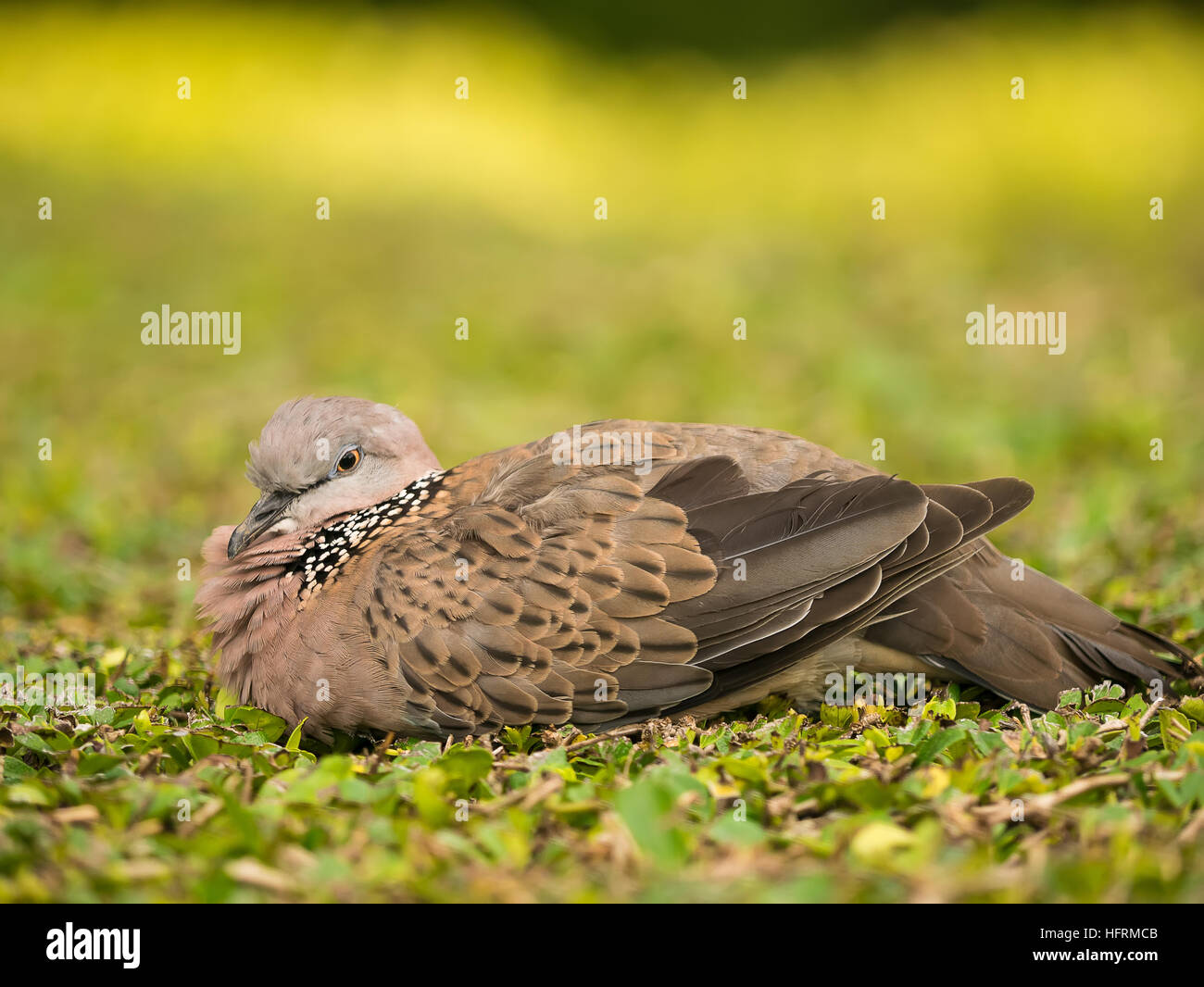 Spotted Dove Bird take a nap on the brush - Stock Image