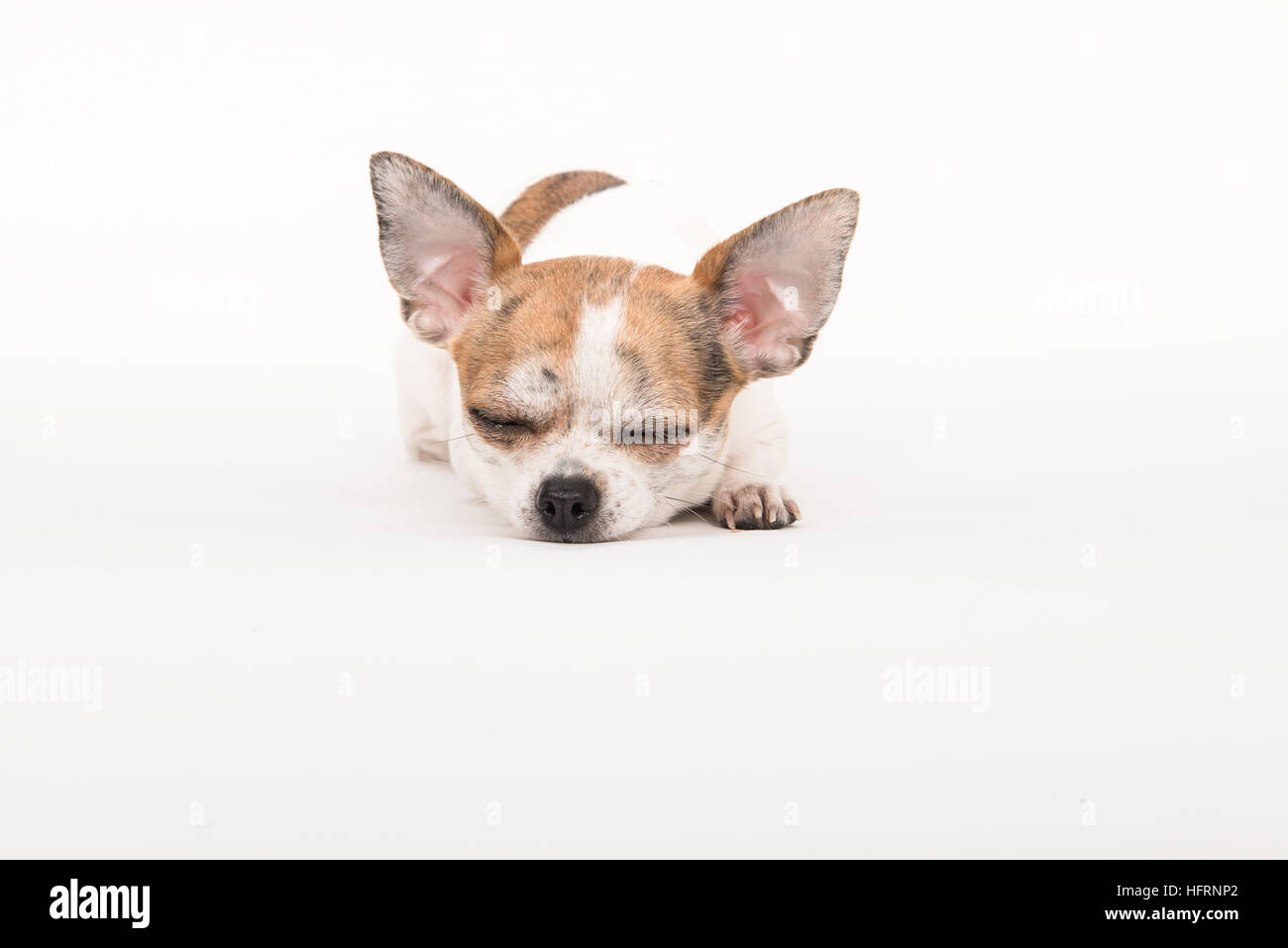 Sleeping chihuahua dog lying on the floor in a soft off-white surrounding - Stock Image