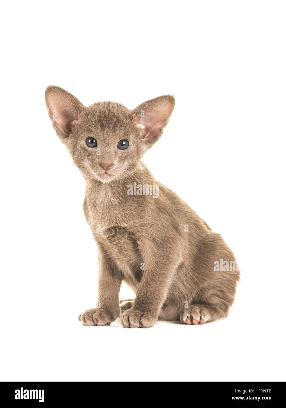 Cute sitting grey blue sitting oriental shorthair baby cat kitten with blue eyes facing the camera isolated on a - Stock Image