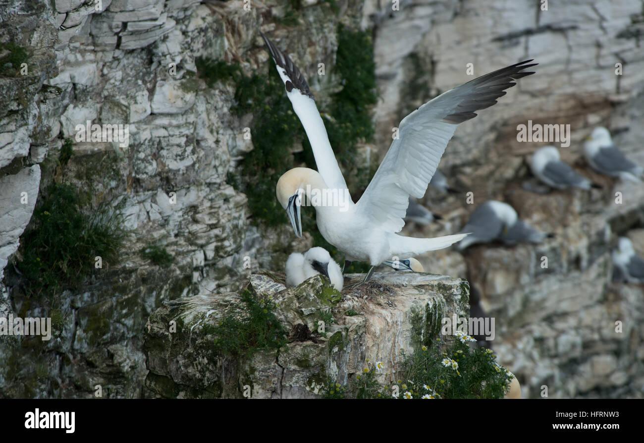 Adult Gannets -Morus bassanus with chick on nest. Bempton Cliffs, R.S.P.B, Yorkshire, England, Uk. June. - Stock Image
