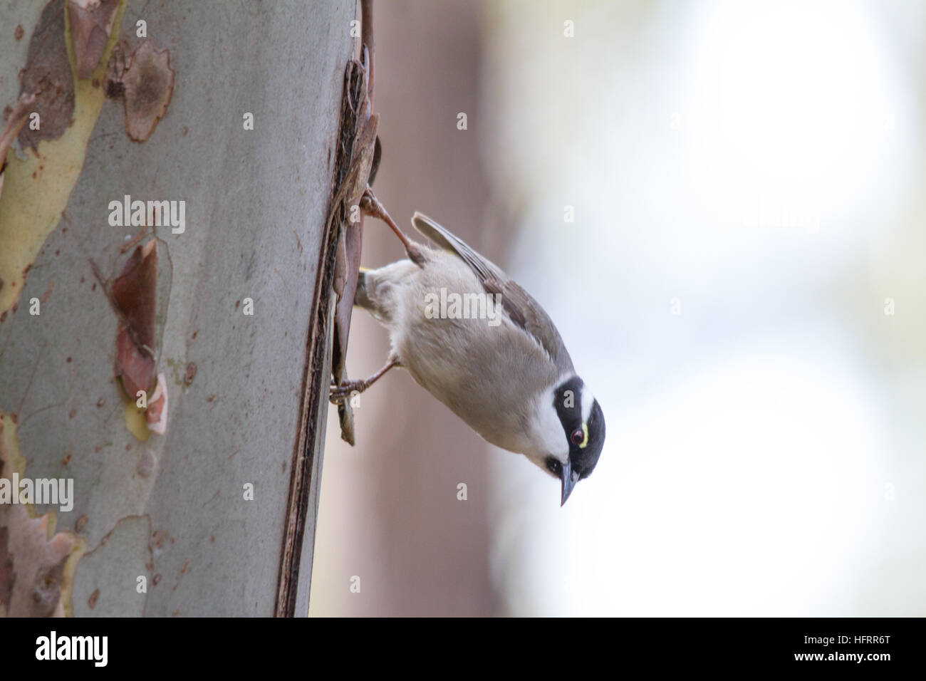 Strong-billed Honeyeater (Melithreptus validirostris) - Stock Image