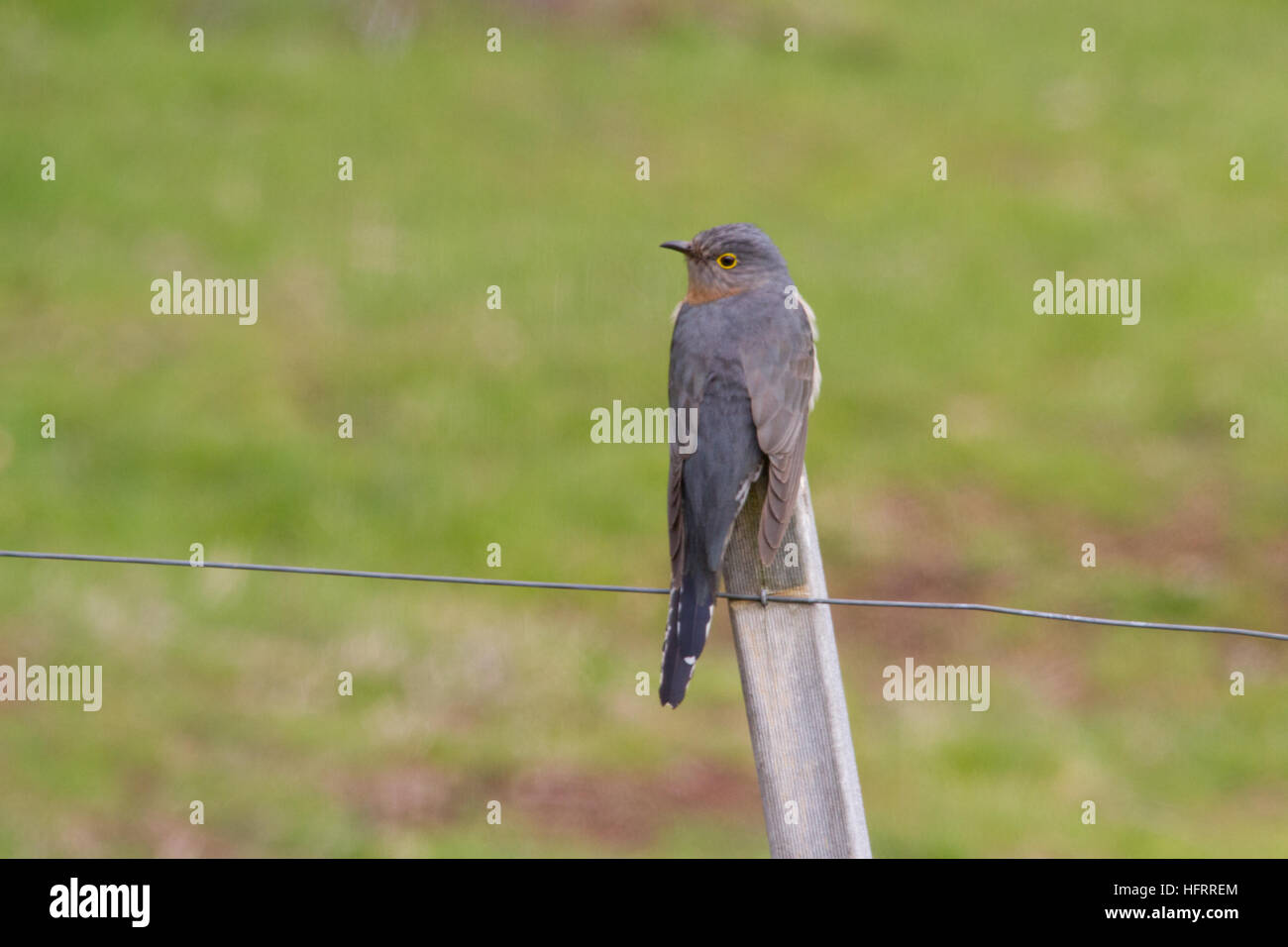 Fan-tailed Cuckoo (Cacomantis flabelliformis) perched on a post - Stock Image
