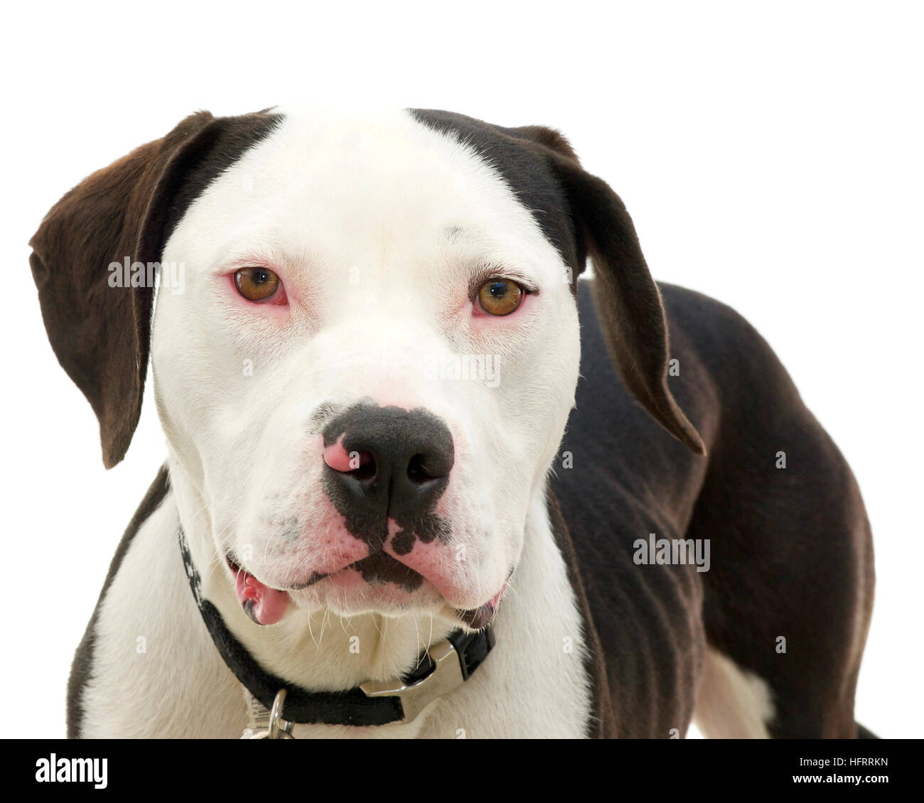 Brown and white american pit bull terrier with brown eyes, red sclera of eyes from cold virus, emaciated after being - Stock Image