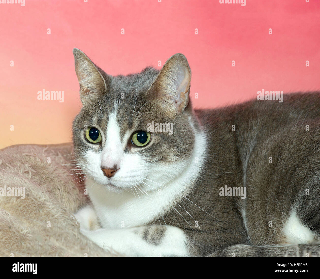 gray and white tabby laying on tan blanket with textured pink and