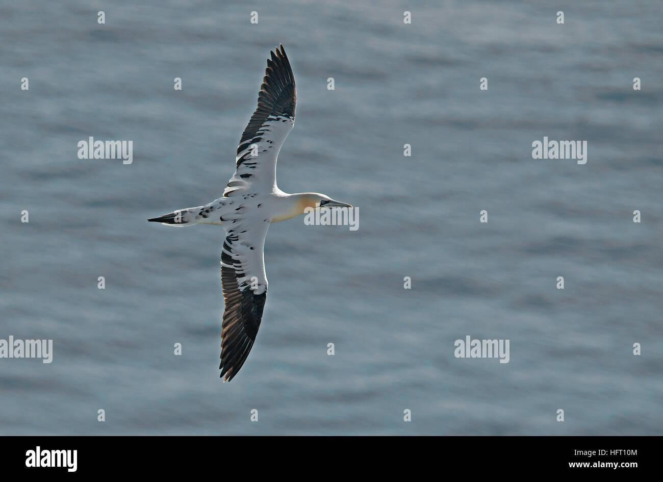 Juvenile Gannet -Morus bassanus in flight.  Bempton Cliffs, R.S.P.B, Yorkshire, England, Uk. June. - Stock Image