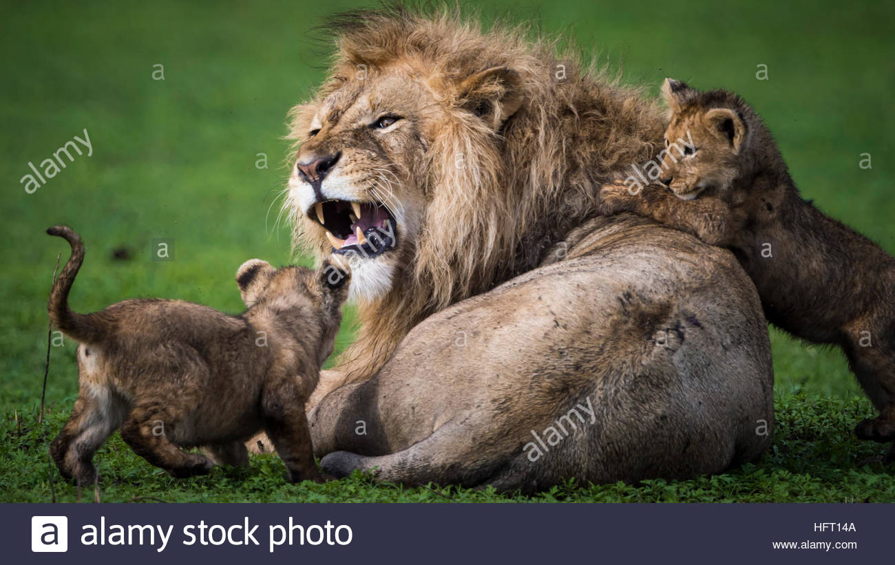 Lion growling at the kids - Stock Image