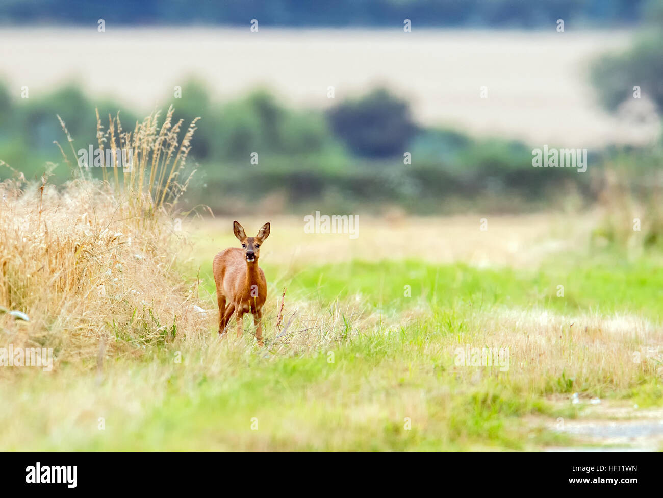 Roe Deer female grasing at the side of a disused section of airfield. - Stock Image