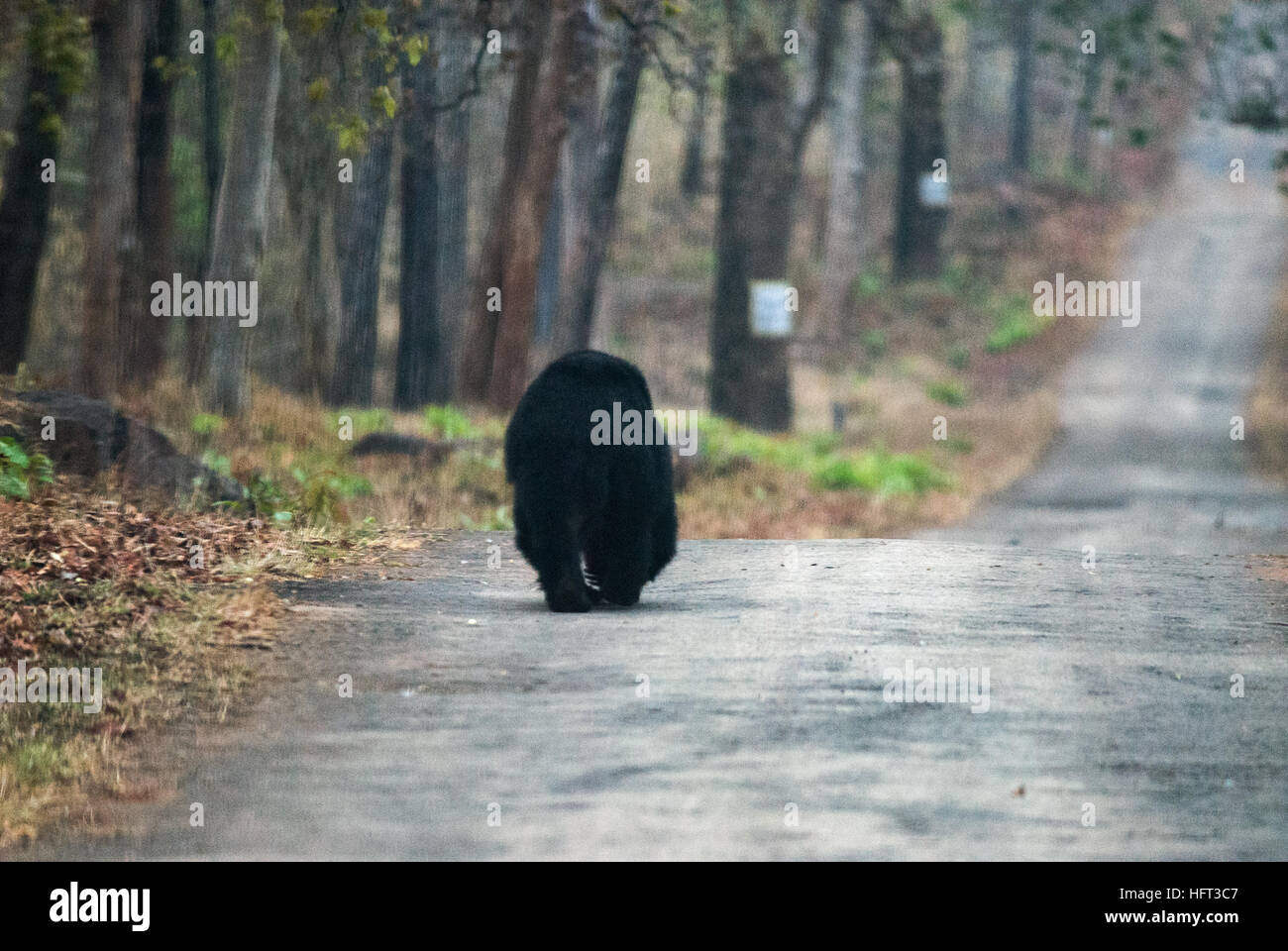 Asiatic Black bear walks the lonely path at Andhari Tadoba Tiger Reserve - Stock Image