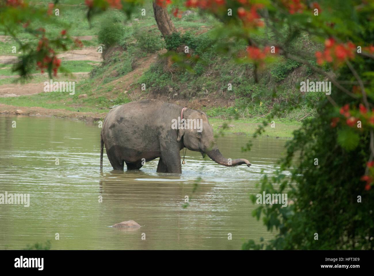Captive elephant calf at Jungle Loges BR Hills enjoying itself in the lake - Stock Image