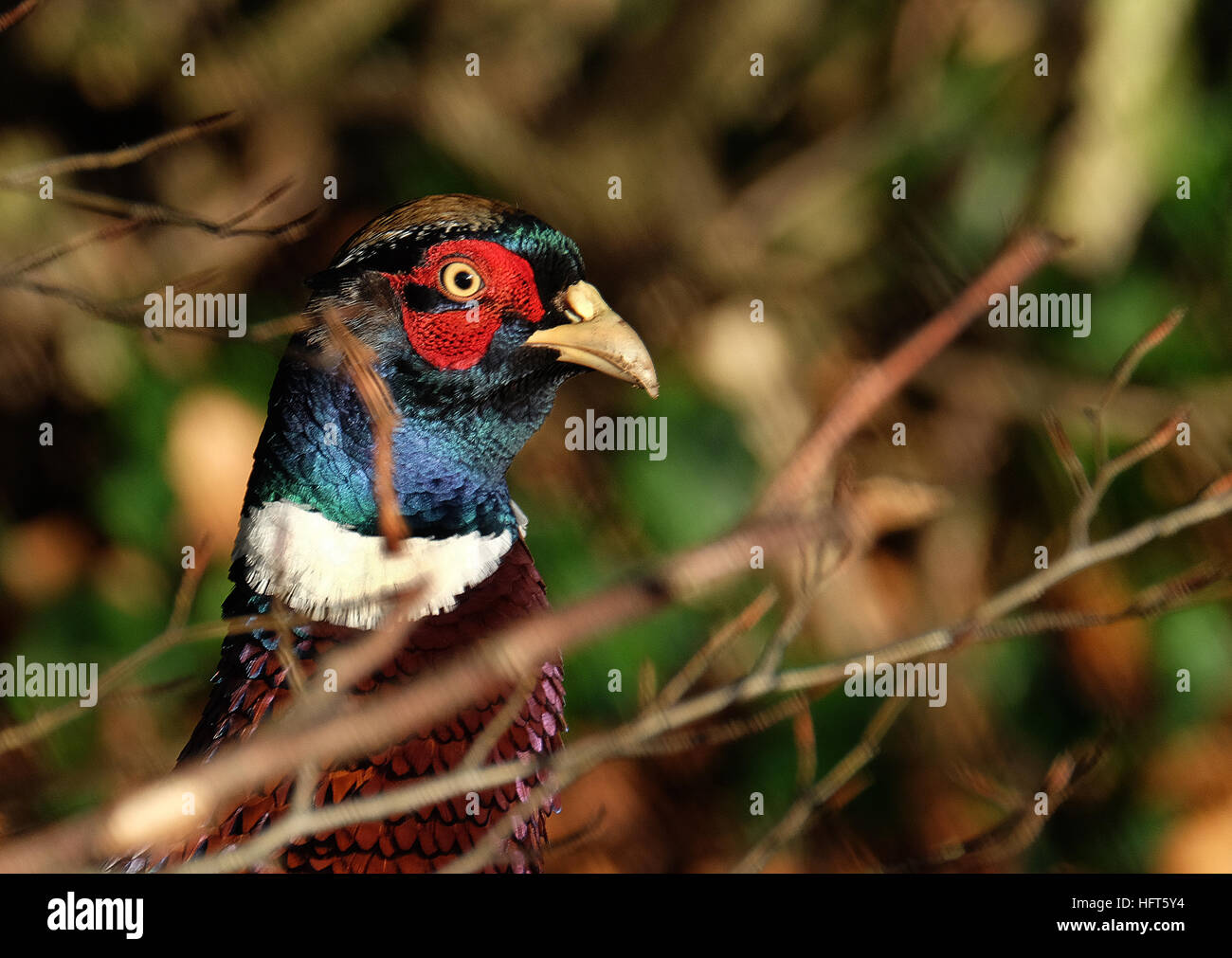 Male pheasant in bright sun. Pheasants are birds of several genera within the subfamily Phasianinae, of the family - Stock Image