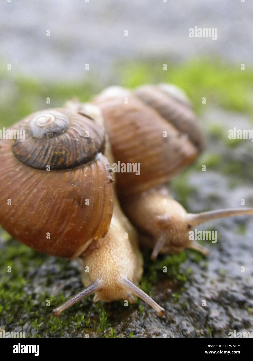 Two Garden Snails Stock Photos & Two Garden Snails Stock Images - Alamy