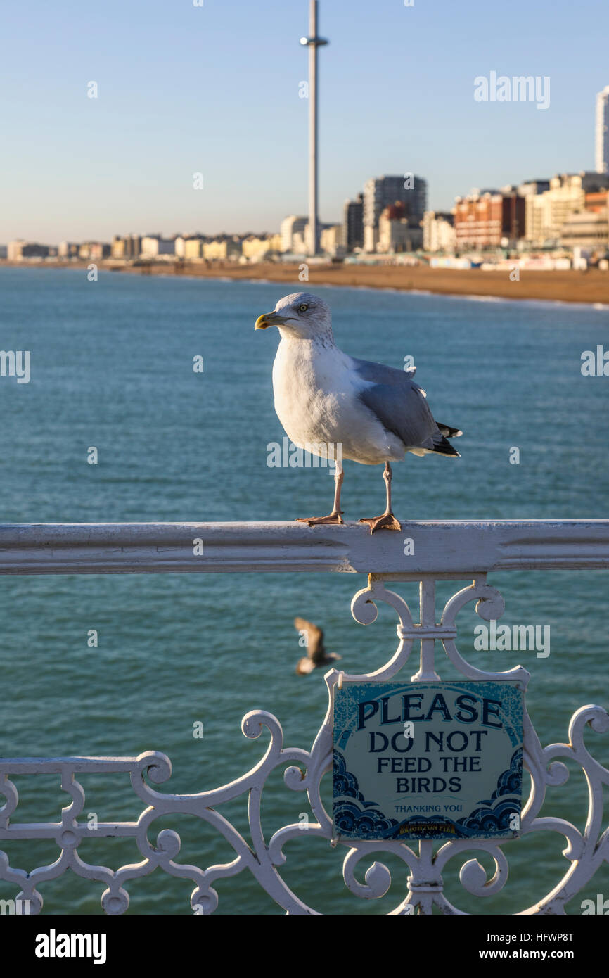 European herring gull (Larus argen) standing above a sign reading 'Please do not feed the birds'' on Brighton Pier, Stock Photo