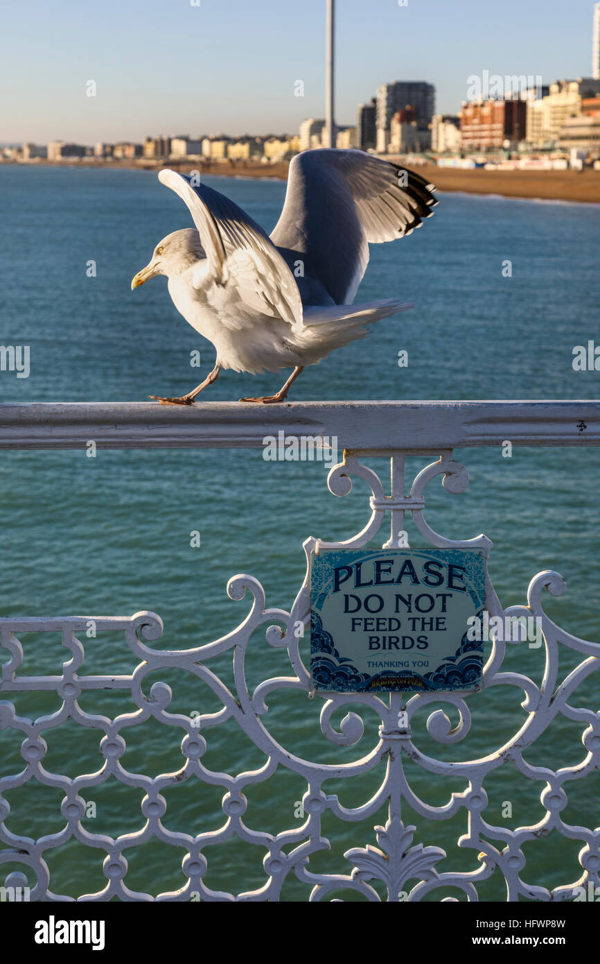 European herring gull (Larus argentatus) standing above a sign reading 'Please do not feed the birds'' - Stock Image
