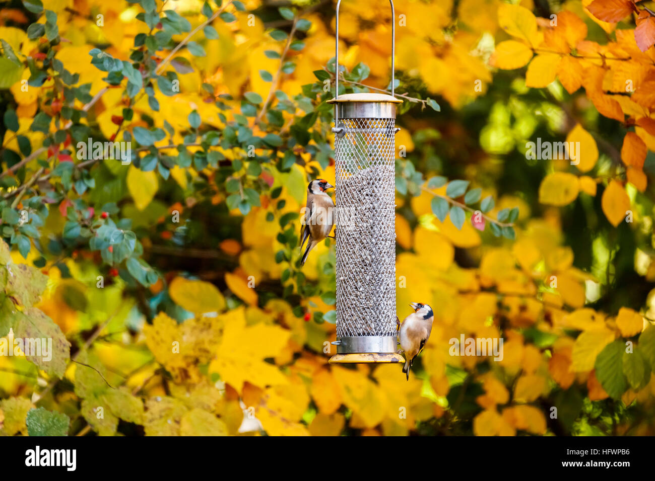 Two European goldfinches (Carduelis carduelis), small English garden birds, feeding at a birdfeeder in autumn in - Stock Image