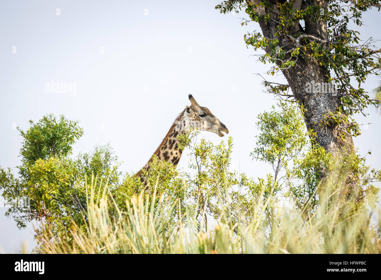 Head of southern giraffe (Giraffa camelopardalis), Sandibe Camp, adjacent to the Moremi Game Reserve, Okavango Delta, - Stock Image