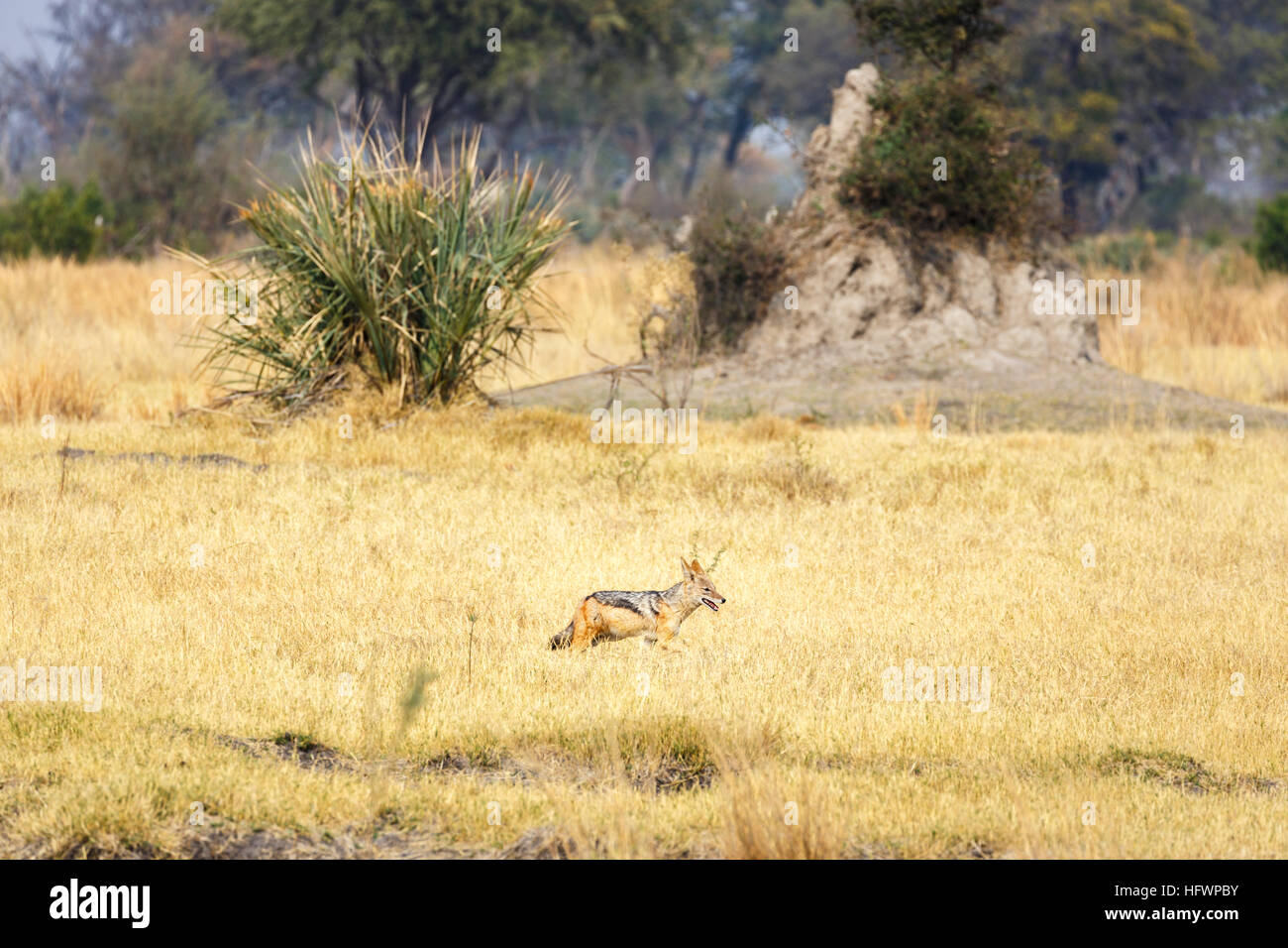 Black-backed jackal (Canis mesomelas) in front of a termite mound, Sandibe Camp, by the Moremi Game Reserve, Okavango - Stock Image