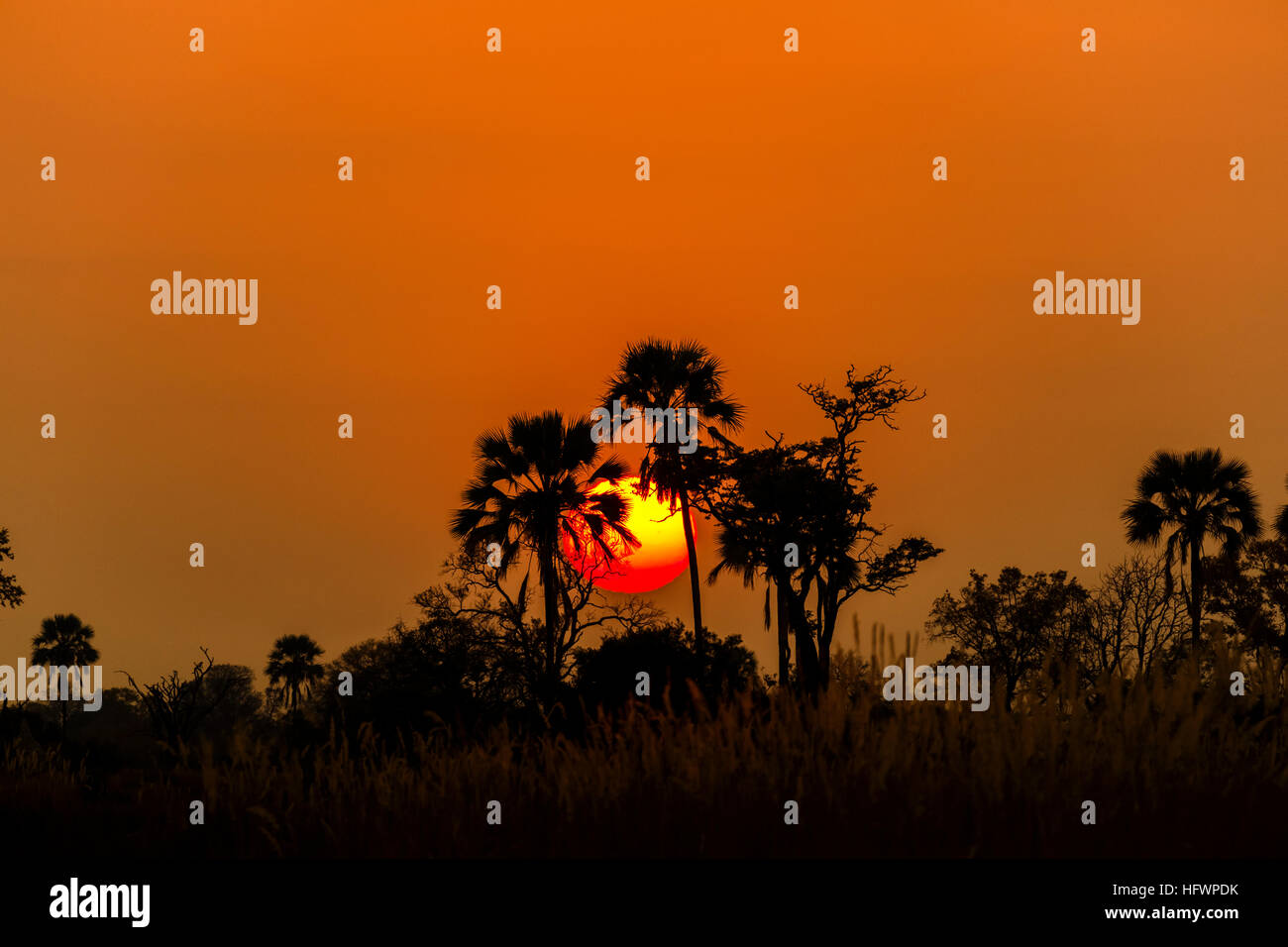 Palm trees silhouetted against the rising sun at dawn, Nxabega Concession, Okavango Delta, Kalahari, northern Botswana, - Stock Image