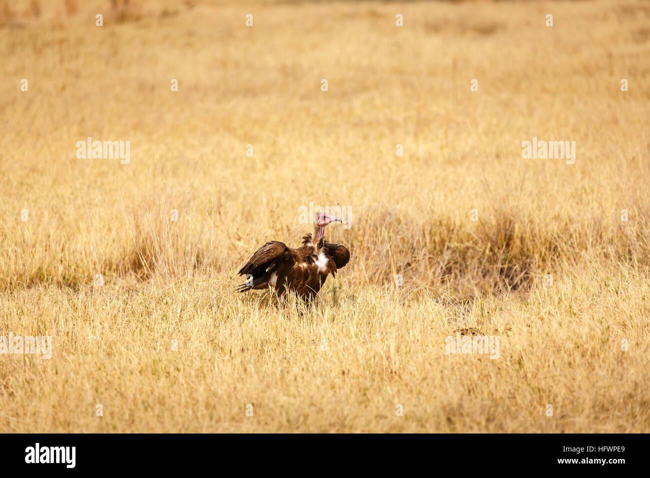 Hooded vulture (Necrosyrtes monachus), Sandibe Camp, adjacent to the Moremi Game Reserve, Okavango Delta, Botswana, - Stock Image