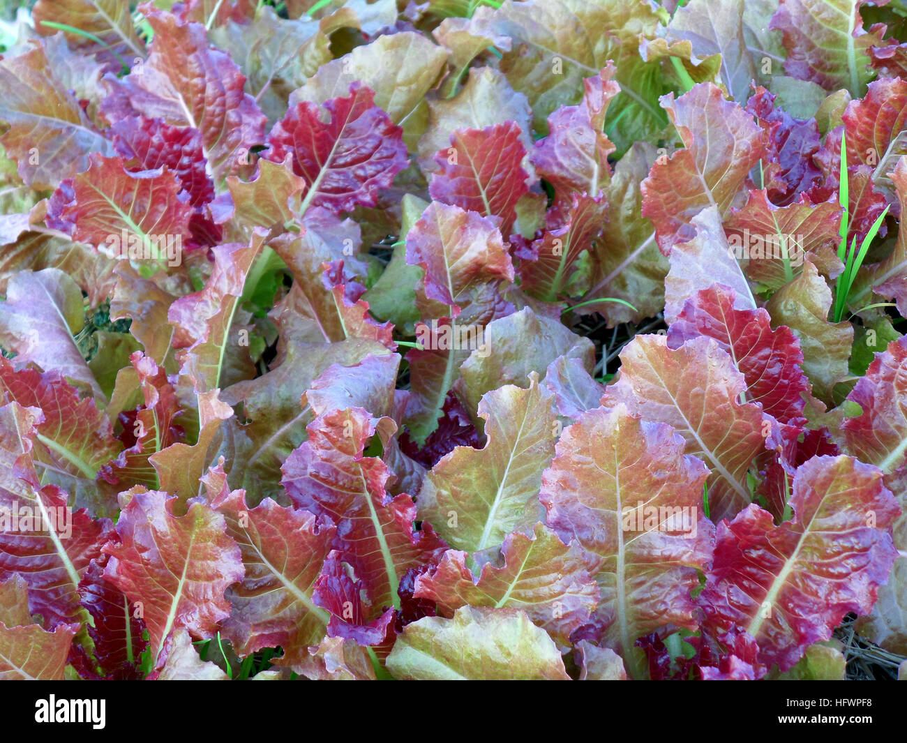 Green and Red Two Tone Vegetables in an Organic Farm - Stock Image