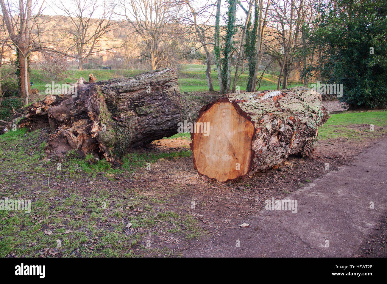 A large Scots Pine tree which fell onto a foot path in the Byes, Sidmouth, cut into sections for removal. - Stock Image