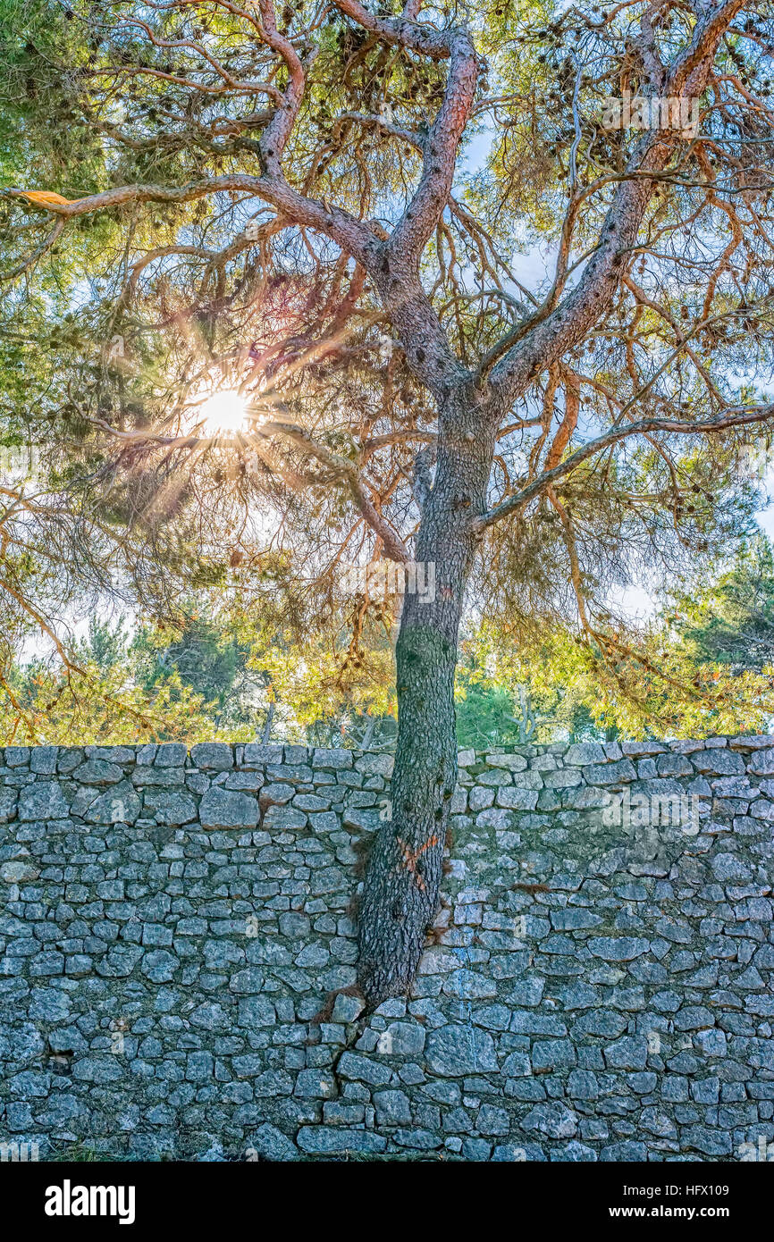 Tree growing through the wall - Stock Image
