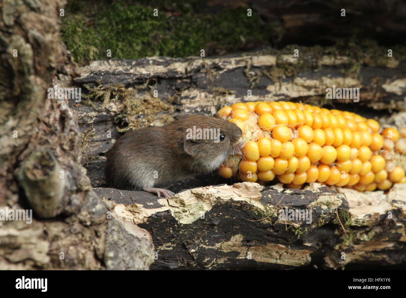 A Bank Vole (Myodes glareolus) with a corn on the cob that it is eating. - Stock Image