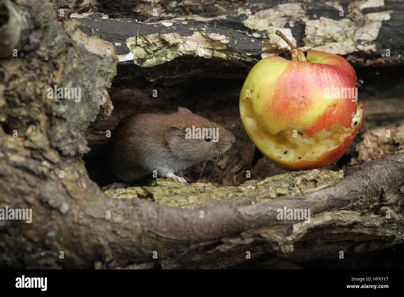 A Bank Vole (Myodes glareolus) with an apple that it has been eating. - Stock Image